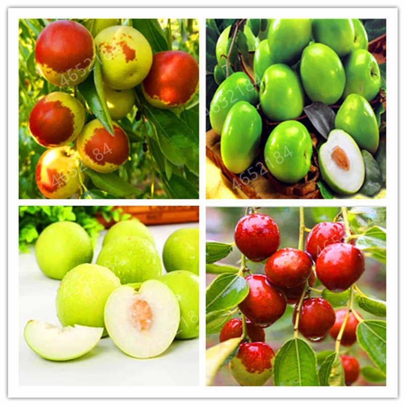 10 قطعة عناب بونساي الصينية تايوان كبيرة عناب بونساي الفاكهة شجرة بونساي نادر الاستوائية الفاكهة بونساي DIY الرئيسية حديقة مزروع مصنع