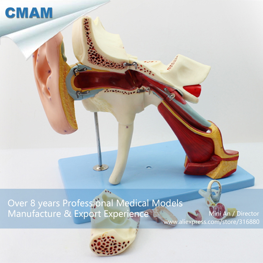 12521 Cmam Ear06 Removable Labyrinth Human Ear Anatomy Model