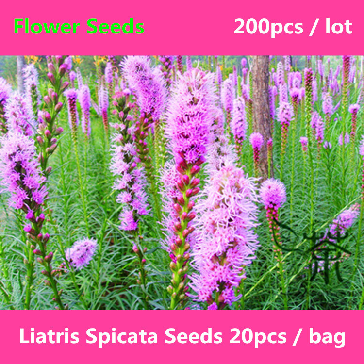 Liatris Spicata For Planting 200pcs Herbaceous Perennial