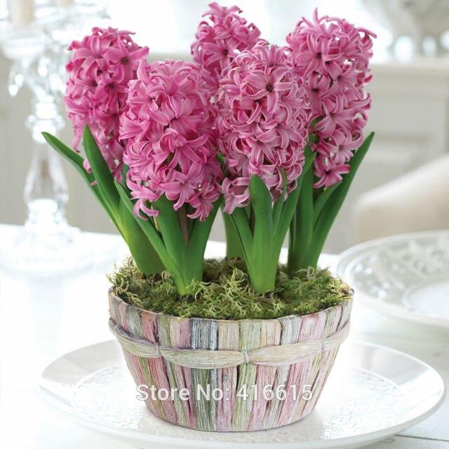 Buy garden hyacinth pink pearl bulb hyacinthus flower seeds forced bulb water - Planting hyacinths indoors ...