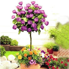 Chinese rose seeds, color bonsai tree roses seed, plant seeds–200PC flowers-seed ornamental-plant