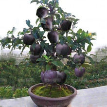 30Pcs Bonsai Black diamond apple tree plants dwarf bonsai rare perennial fruit plant for home garden