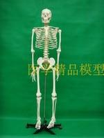 170cm Human Skeleton Model (with Intervertebral Disc and Neural) Medical BoneTeaching Model Free Shipping