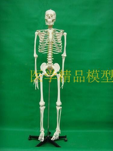 Modèle de squelette humain 170 cm (avec disque intervertèbre et Neural) modèle de bonétachage médical livraison gratuite