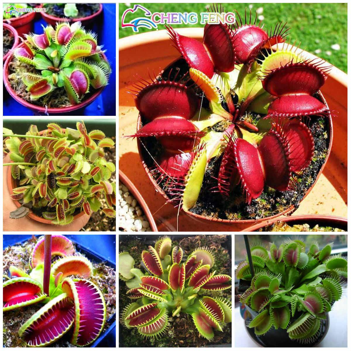 50 قطعة مزروع الحشرات Dionaea Muscipula العملاق كليب صائدة الذباب بونساي نبات لاحم ديكور حديقة المنزل