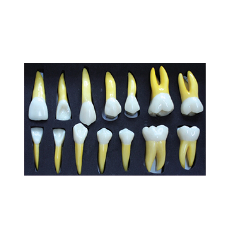 4 Times Permanent Anatomical / (Right 14) dental tooth teeth dentist dentistry anatomical anatomy model
