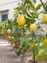 20 Dwarf lemon tree beautiful fruit bonsai potted Full of fragrance make you feel relax Free Shipping