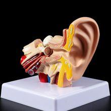 Modelo de accesorios médicos 1,5 veces, tamaño natural, modelo de anatomía del oído humano, suministros de enseñanza OrganMedical profesional
