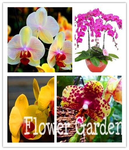 50 Pcs World's Rare Flower Seeds japanese Radiata Orchid Seeds For Garden & Home Planting white dove,#ORXM0G