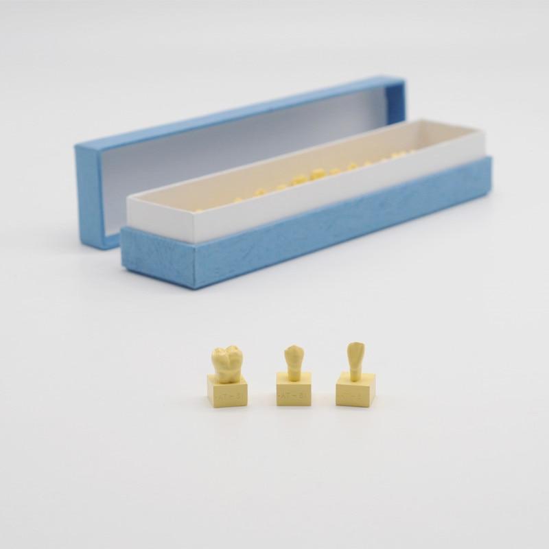 Équipement dentaire 1:1 modèle de dents permanentes avec modèle d'anatomie des dents de Base pour laboratoire de dentiste
