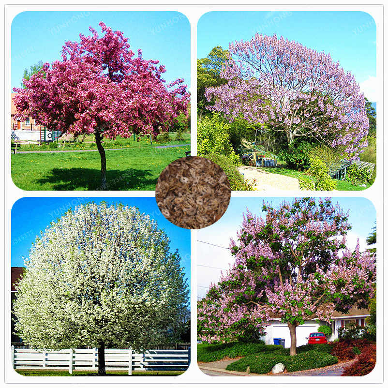 200 PCS Senior Paulownia Bonsai(Princess Tree Or Empress Tree) Purple Kiri Bonsai 4 Different Color Flowering Plants