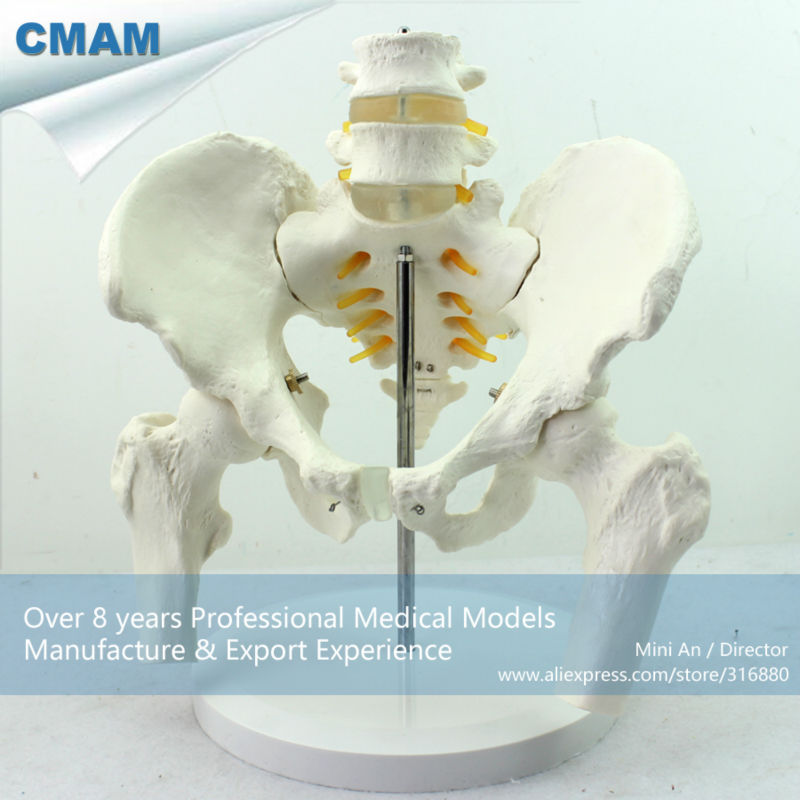 CMAM-PELVIS01 Medical Anatomy Life-Size Pelvic Skeleton Model with Movable Femur Heads and 2pcs Lumbar Vertebrae plastic standing human skeleton life size for horror hunted house halloween decoration