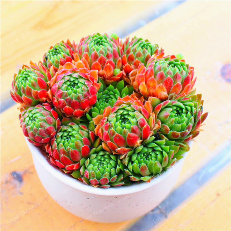 100 Pcs/Lot Rare Sempervivum Succulent Bonsai (Sempervivum Oubeni Makiginu) Bonsai Plant Succulents