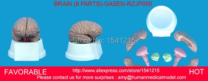 HUMAN BRAIN MODEL, ANATOMY MODELS ,BRAIN MODELS, BRAIN ,HUMAN HEAD ANATOMICAL MODEL BRAIN MODEL -GASEN-RZJP050 цена