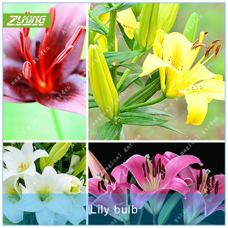 Zlking 2 Lily Bulbs Color Perfume Lily Flower Lilium Bonsai Potted Plant High Quality For Home Garden Plants Easy To Grow Elegant In Smell Bonsai