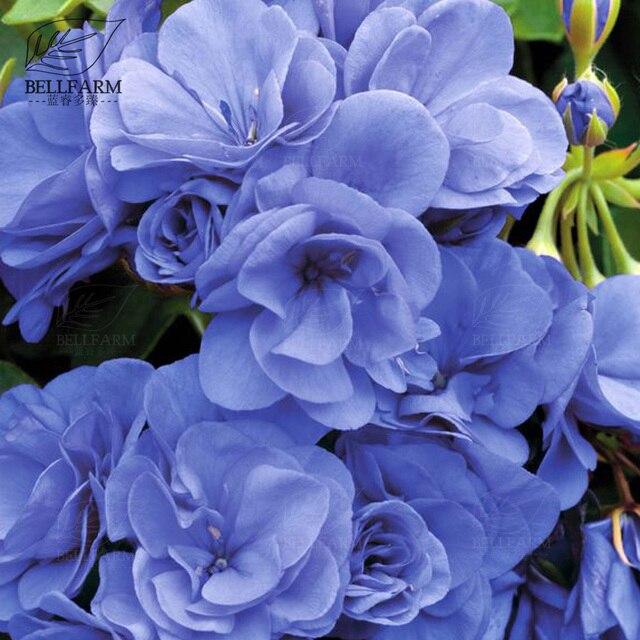Bellfarm geranium sky blue noon blue perennial flowers pelargonium bellfarm geranium sky blue noon blue perennial flowers pelargonium fragrant double flowers high germination mightylinksfo