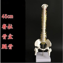 лучшая цена 45cm Human spine mannequin 1:1 adult orthopedic exercise spine model / cervical vertebrae lumbar human Leg bone mannequin A263