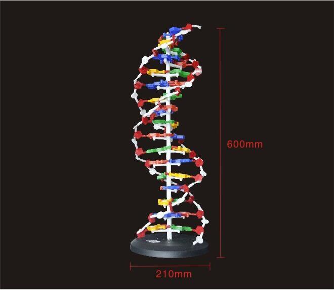 60 centímetros Base de DNA Modelo de