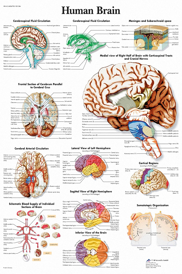 DIY frame Brain Medical Anatomy Poster Fabric Silk Posters And ...