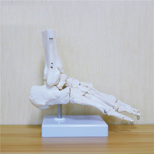 Flexible Human Foot Bone Model Foot Sole Joints of Foot Ankle Tibia and Fibula Foot Model of Orthopedics Teaching for Medical
