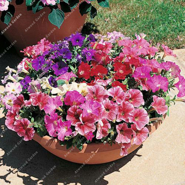 ZLKING 100pcs Garden Petunia Flower Bonsai Plants For Home Garden Exotic Plant Species Super Natural Products 4