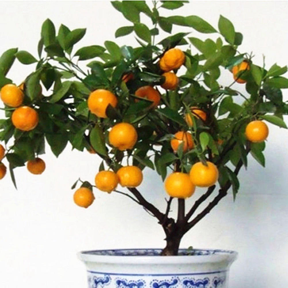 50pcs bonsai orange potted edible tangerine citrus fruit dwarf orange tree indoor plant easy to