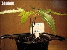 20 stücke Blau Maple Tree Seeds Kanada Mini Bonsai Mehrjährige Indoor Bonsai Pflanzen für Haus & Garten Dekoration(China)