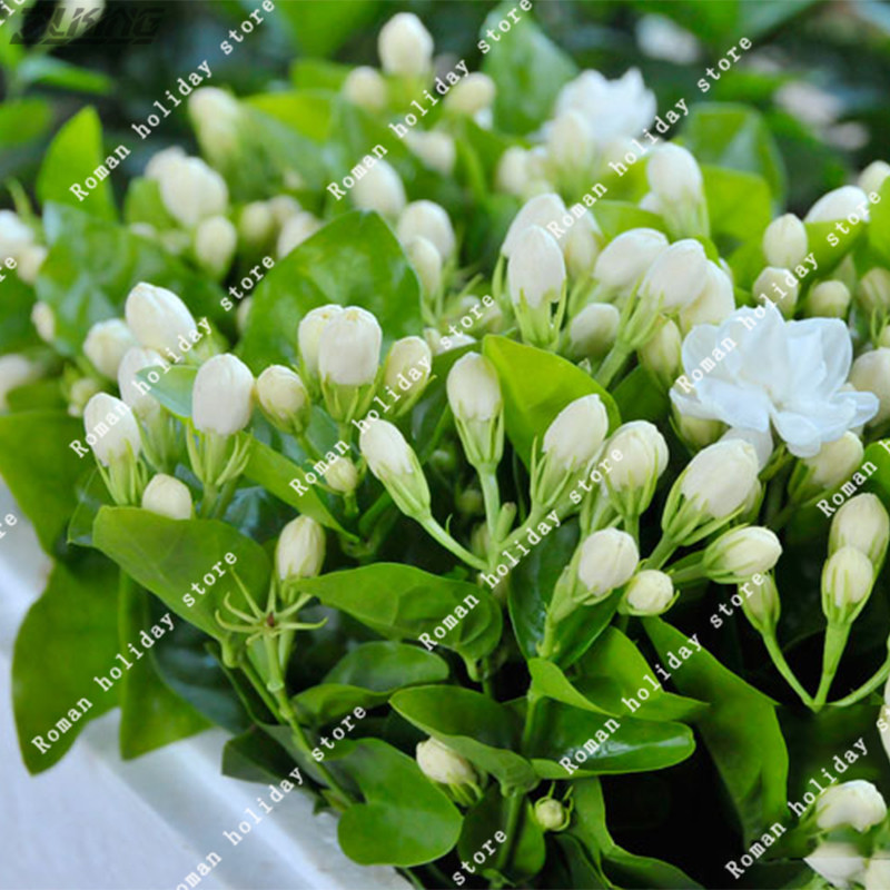 Zlking 20 pcs chinese pure white jasmine seed aroma ornamental zlking 20 pcs chinese pure white jasmine seed aroma ornamental scented perennial plants fast growing flowers rare flower seeds in bonsai from home garden mightylinksfo