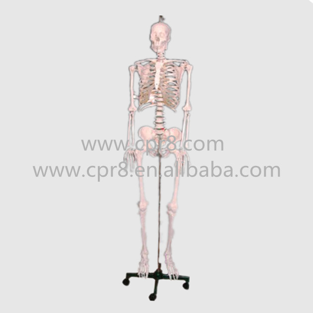 BIX-A1002 84cm Human Skeleton Model G165 bix a1005 human skeleton model with heart and vessels model 85cm wbw394