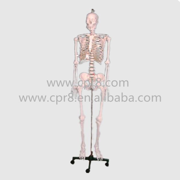 BIX-A1002 84cm Human Skeleton Model G165