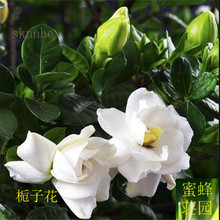 Promotion Sale Summer Excluded Regular Beautifying Temperate Balcony Small  Mini Quality Gardenia Seeds Fragrant Flowers 2