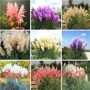 Pátio e Jardim Vasos de Plantas Ornamentais Pampas Grama Sementes Novas Flores (Branco Amarelo rosa Roxo) Cortaderia Sementes De Capim 500 Pcs
