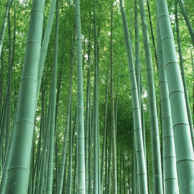 60PCS Giant Moso Bamboo Plants Seeds DIY Home Garden Bonsai Pot Trees 100% True Seeds