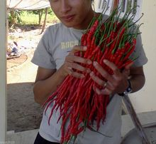 Vegetable seeds Indonesian Hot Chili Pepper seeds MONSTER Size 28-33 cm !! Very Rare garden decoration   100pcs  B03