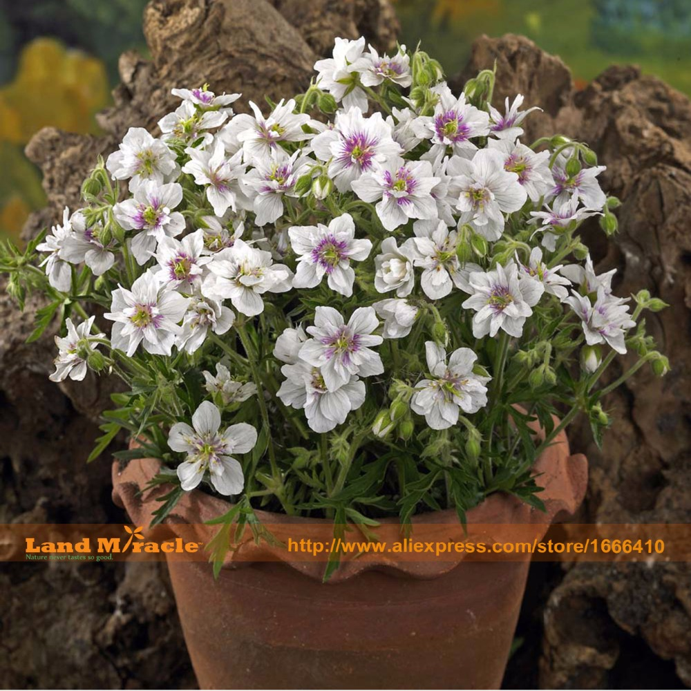 aliexpress com buy 20 seeds pack purple geranium seeds