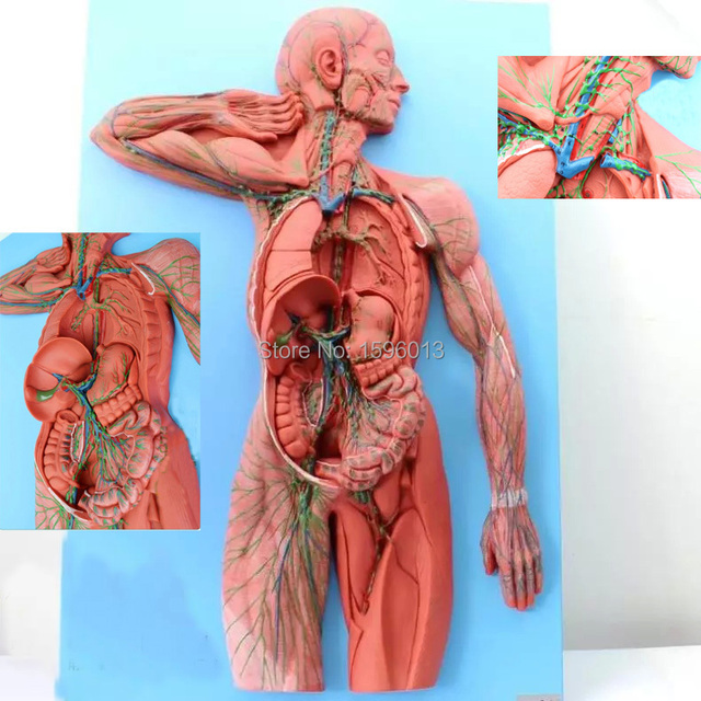 Human Lymphatic System Model In Medical Science From Office School