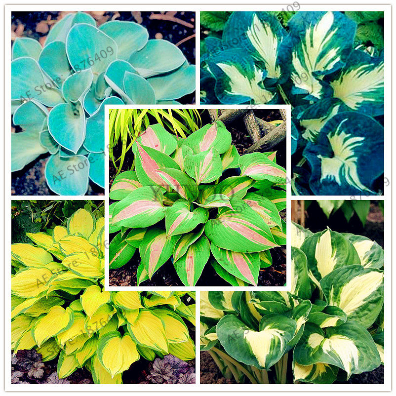 150pcs/bag Hosta Bonsai Perennials Plantain Lily Flower White Lace Home Pot Garden Ground Cover Plant Flores