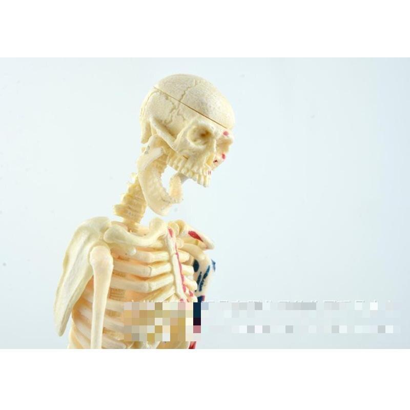 Teaching Resources Menschliches skelett modell, medizinische ...