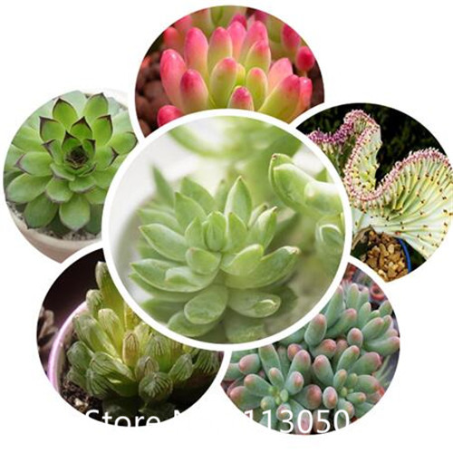 Garden 200pcs Bag Succulent Plant Seeds Indoor Office Small Desk Plants Flowers Mixed Colors Free Shipping For Christ In Bonsai From Home