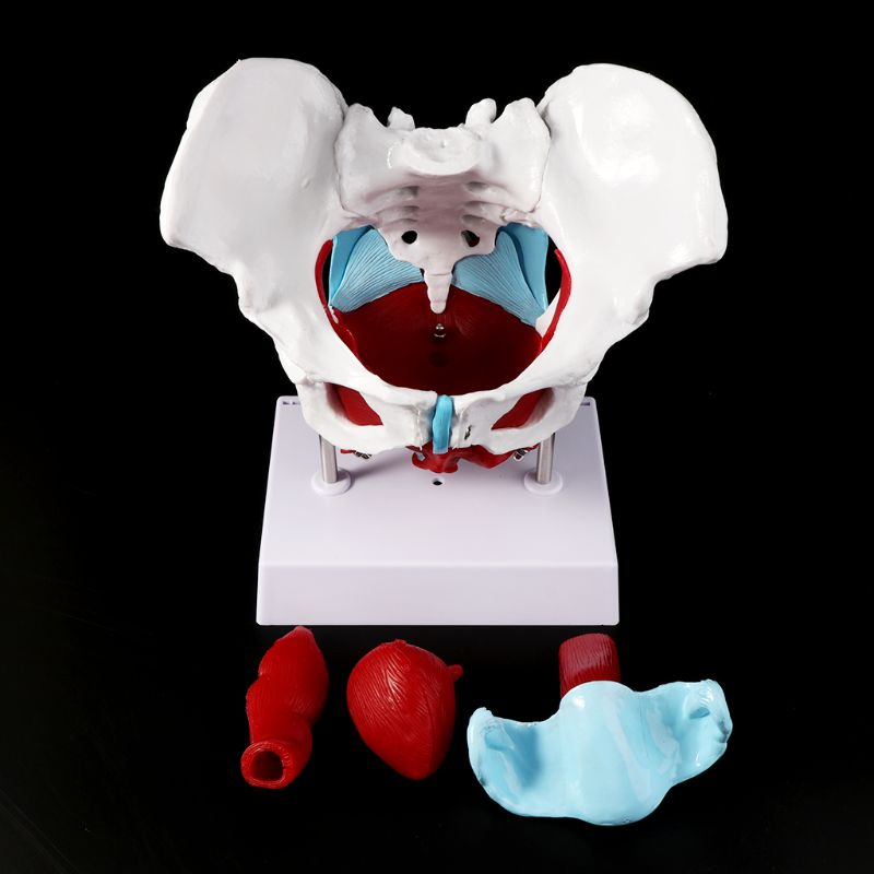 Image 2 - 2019 NEW Female Pelvis Pelvic Floor Muscle Model Uterus Ovary Muscle Teaching Resources Educational Supplies Removable-in Medical Science from Office & School Supplies