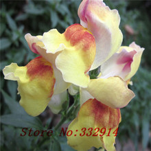 "Sale!100 SEEDS ANNUAL FLOWER GARDEN SEEDS flower seeds SNAPDRAGONS ""APPLEBLOSSOM"" CUT FLOWERS BONSAI PLANT DIY HOME GARDEN FREE"