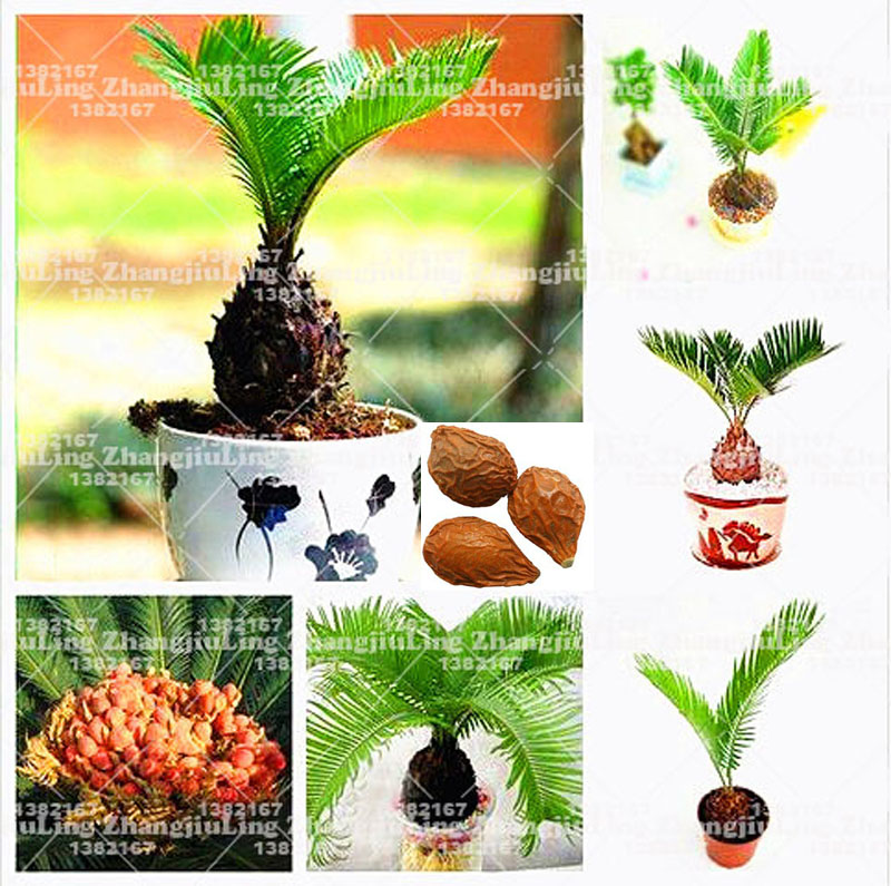 1pcs/bag Cycas seeds, Sago Palm Tree seeds.bonsai flower seeds,the budding rate 97% rare potted plant for home garden