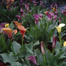 Calla Lily Bulbs Potted Balcony Plant Calla Can Radiation Absorption Mixed Colors – 50 pcs/bag