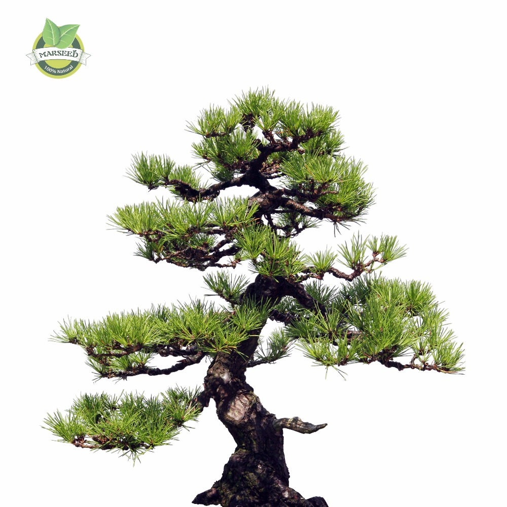 35pcs/Bag Japanese Pine Tree Seeds bonsai flower easy ...