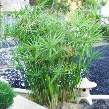 e63837b51 Cyperus Alternifolius Umbrella Plant Bonsai Plant DIY Home Garden Bonsai  Home Beauty Hydroponics Plant Potted plant 50 Pcs