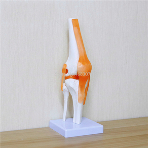 Image 4 - Human,Skeleton Knee Joint Anatomy Models Skeleton Model with Ligaments Joint Model Medical Science Teaching Supplies