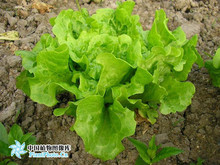 400 Lettuce Seeds good taste easy to grow great salad choice DIY Home vegetable Free Shipping