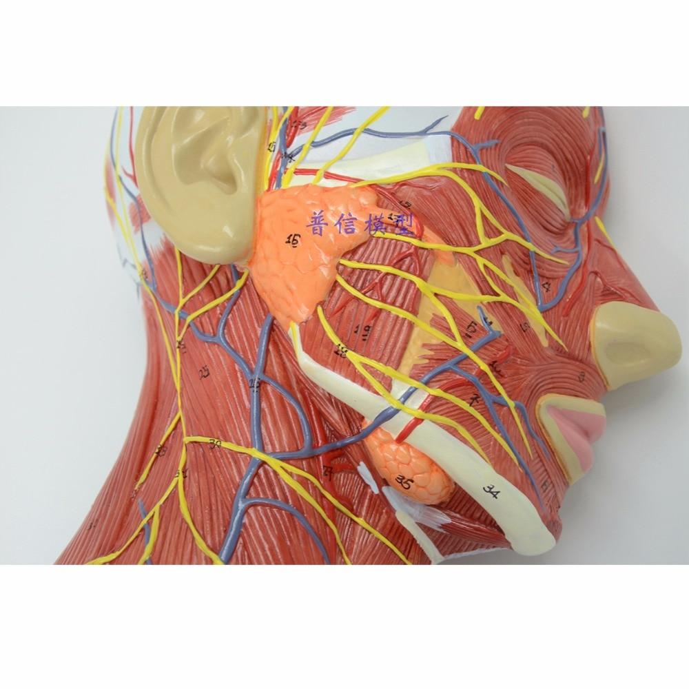 Humano, cráneo con músculo y vaso de sangre nervioso, Sección de cabeza cerebro, modelo de anatomía humana. La enseñanza médica-in Ciencia médica from Suministros de oficina y escuela    3
