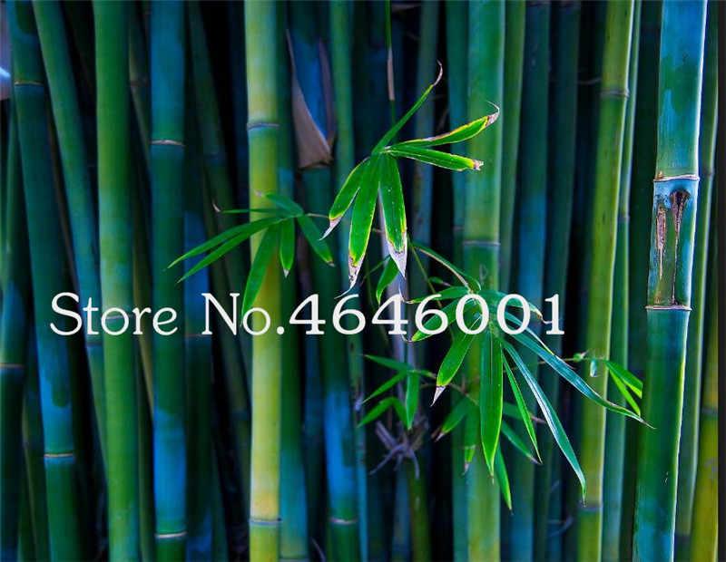 بونساي 30 قطعة/الحقيبة نادرة الأرجواني الخيزران النباتات ديكور حديقة النباتات المنزلية المعمرة سهلة جدا تنمو محظوظ الخيزران بونساي للبيع