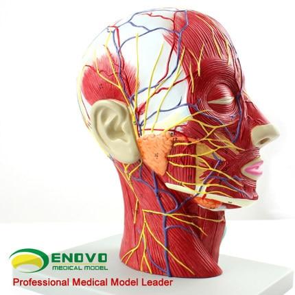 Medizinische kopf gesichtsanatomie modell von gehirn gefäß nerven ...